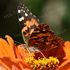1397  Painted Lady Butterfly on orange zinnia