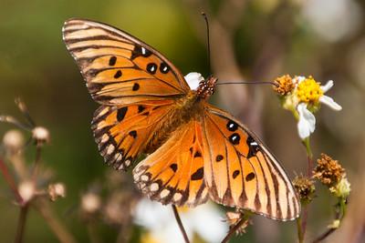 Butterfly-Fritillary-Gulf-Fort Clinch-Amelia Island FL-20121105-02-PS-1