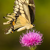 Eastern Giant Swallowtail, Prince Edward Point National Wildlife Area, Ontario