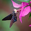 Nature photographer Jerry Dalrymple shares an image of a mangrove skipper taken near Tampa, Florida