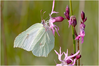 Brimstone, Buxton Heath, Norfolk, United Kingdom, 1 June 2014