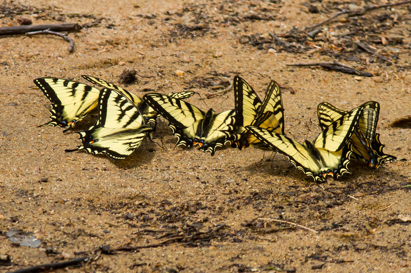 Canadian Tiger Swallowtail, Algonquin Provincial Park, Ontario