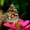 1408  Painted Lady Butterfly on pink zinnia
