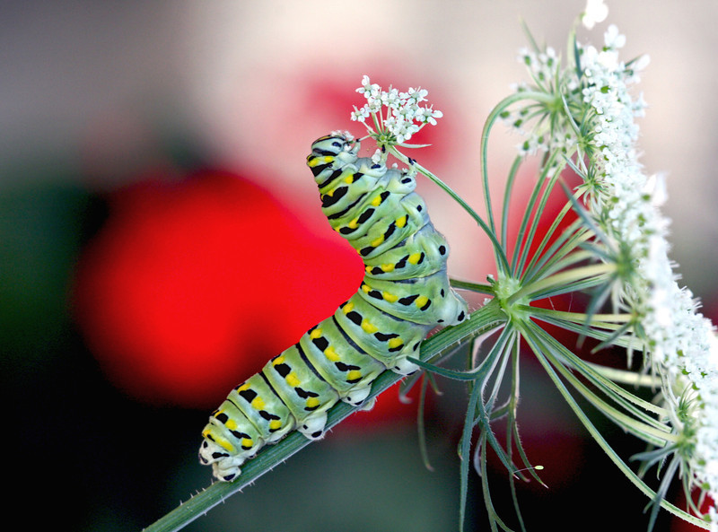Nature photographer Jerry Dalrymple shares an image of a eastern black swallowtail larvae butterfly in Loveland, Ohio