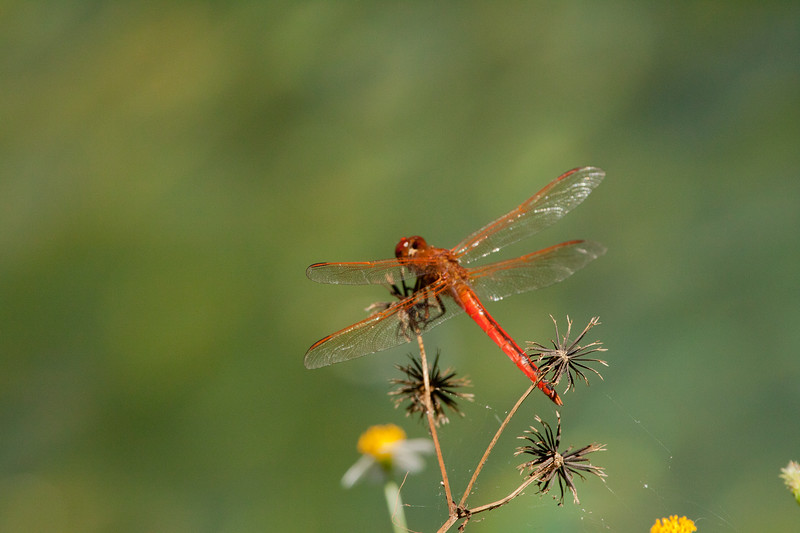 Golden -winged Skimmer