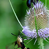 Snowberry Clearwing Moth (Hemaris diffinis) and bumblebee on teasel