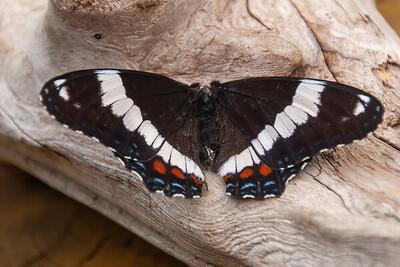 Admiral-White-(Limenitis arthemis arthemis)-Dunning Lake-Itasca County MN