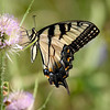 Nature photographer Jerry Dalrymple shares an image of a tiger swallowtail butterfly