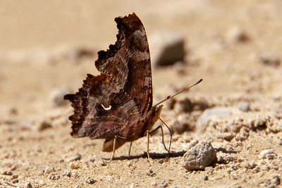 Comma-Hoary-(Polygonia gracilis) - Alder Road - Itasca County, MN