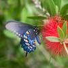 Black Swallowtail  Butterfly on bottlebrush tree
