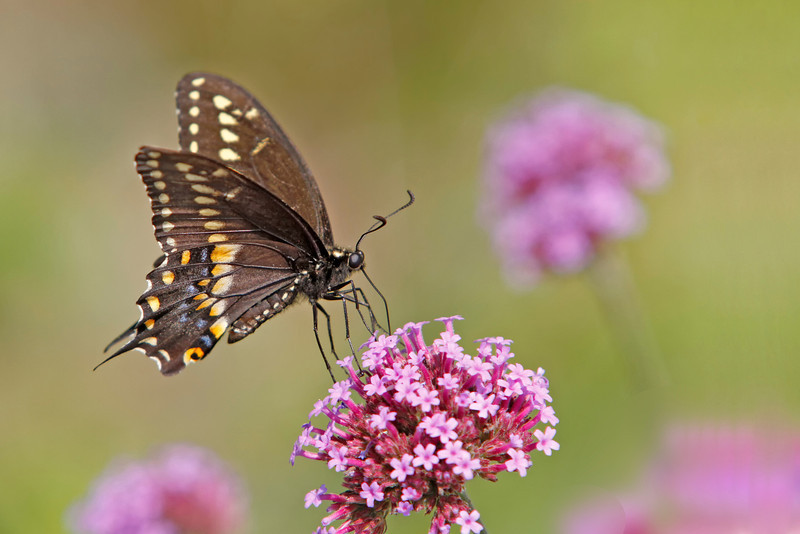Nature photographer Jerry Dalrymple shares an image of a eastern black swallowtail butterfly taken near Cincinnati, Ohio.