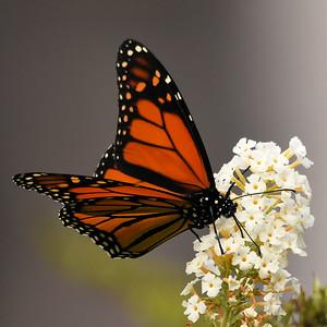 #1525  Monarch Butterfly on butterfly bush