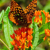 Aphrodite on butterfly weed (Asclepias turerosa)