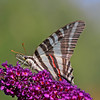Nature photographer Jerry Dalrymple shares an image of a zebra swallowtail butterfly taken near Cincinnati, Ohio.