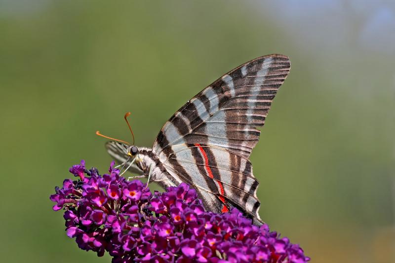 Nature photographer Jerry Dalrymple shares an image of a zebra swallowtail butterfly taken near Cincinnati, Ohio.