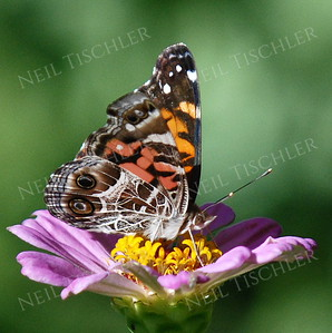 #978  American Painted Lady