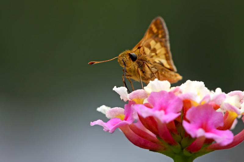 Nature photographer Jerry Dalrymple shares an image of a pecks skipper taken near Cincinnati, Ohio.