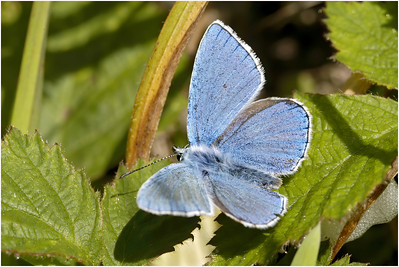 Adonis Blue, Martin Down, Hampshire, United Kingdom, 8 June 2005