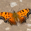 Grey Comma, Prince Edward County, Ontario