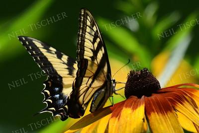 #963  Tiger Swallowtail