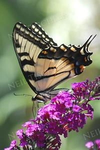 #881  Tiger Swallowtail