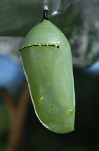 #1540  Monarch butterfly chrysalis (1st day);  color is a slightly translucent pale green overall with gold-tinged arc near the top and raised gold spots lower down