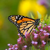 Monarch butterfly taken by nature photographer Jerry Dalrymple