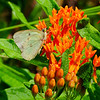 Albino Sulphur on butterfly weed (Asclepias turerosa)