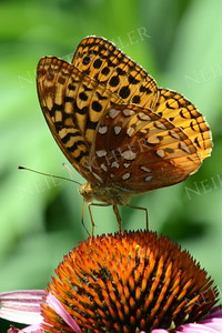#1076  Great Spangled Fritillary