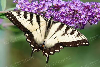 #681  Tiger Swallowtail