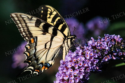 #1040  Tiger Swallowtail