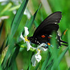 Pipevine Swallowtail on Narcissus