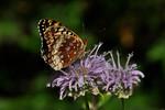 Butterfly-Fritillary-Great Spangled-(Krautwurm's)-(Speyeria cybele krautwurmi)-Dunning Lake-Bovey MN-20130817-02-PS-1