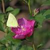 Cloudless Sulphur Yellow Butterfly