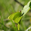 Cloudless Sulphur blends with the leaf its on