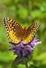 Butterfly-Fritillary-Great Spangled-(Krautwurms Fritillary)-Dunning Lake MN-01-20120719-PS-1