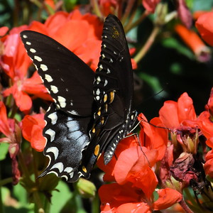 #1543  Spicebush Swallowtail, female ,  on a Brazilian salvia (grown as an annual)