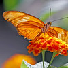 butterfly, butterflies, Julian, images, nature photography