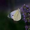 Nature photographer Jerry Dalrymple shares an image of a cabbage white butterfly taken near Cincinnati, Ohio.