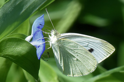#1559  Cabbage White butterfly on Asiatic Dayflower