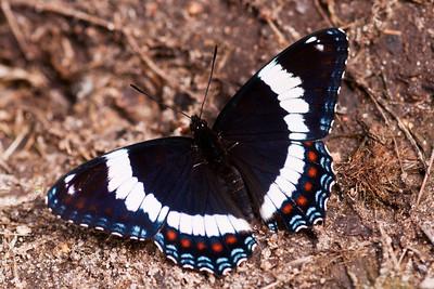 Admiral-White-(Limenitis arthemis arthemis) - Dunning Lake - Itasca County, MN
