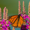 Monarch Butterfly on Purple Loosestrife, Presqu'ile Provincial Park, Ontario