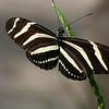 Zebra Longwing - Heliconius Charitonius