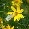 Cabbage White Butterfly on Coreopsis