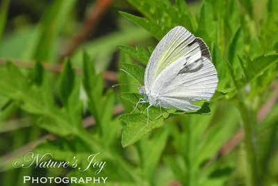 Barred Sulphur