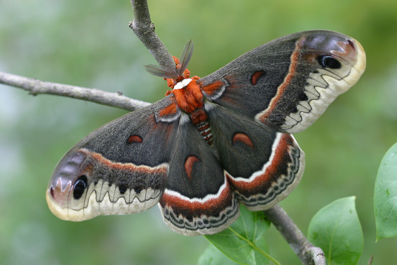 Cecropia Moth - for 12x18 Prints (or smaller)