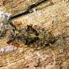 Dipsiathus sp.