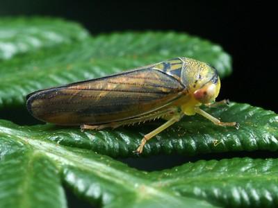 subfamily Austroagalloidinae