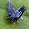 Ishidaella anemolua