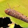 Thamnophryne nysias